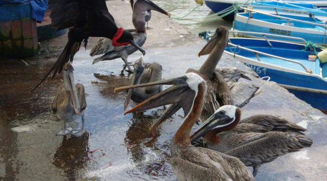 サンタクルス島の魚市場は動物の天国だった!!