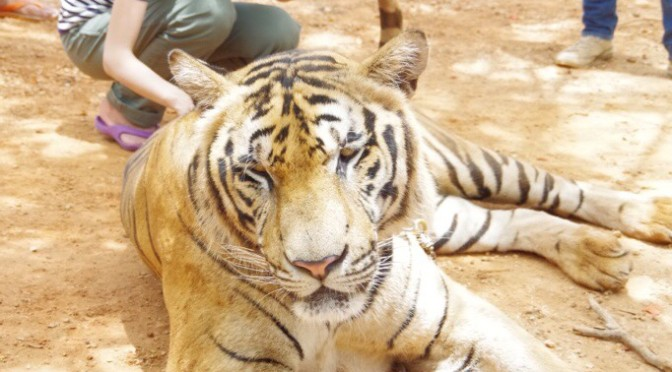 TigerTempleで虎と戯れ、阪神優勝祈願(笑)